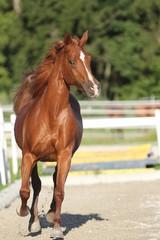 Pony im Galopp