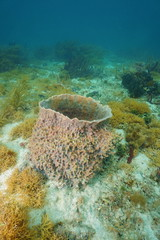 Giant barrel sponge on seafloor of Caribbean sea