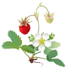 Strawberry - flower and fruits.