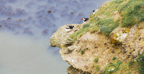 Puffins Nesting on Rocky Outcrop