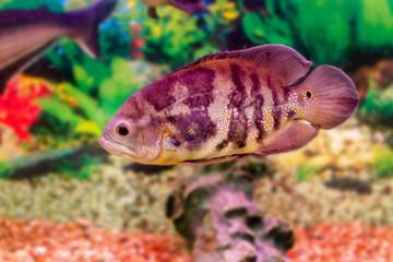 aquarium fish Astronotus