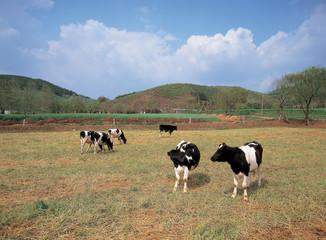 초원과 젖소