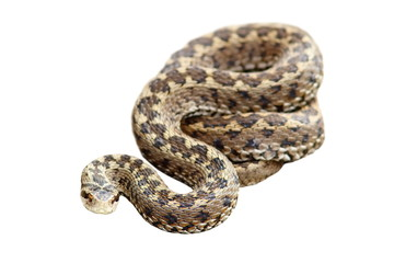 meadow viper isolated over white