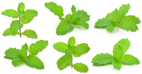 Mint leaf  on a white background