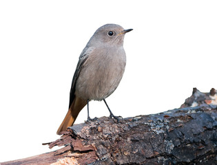 Black redstart on white