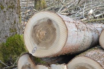 Baumstämme lagern im Wald nach Abholzung