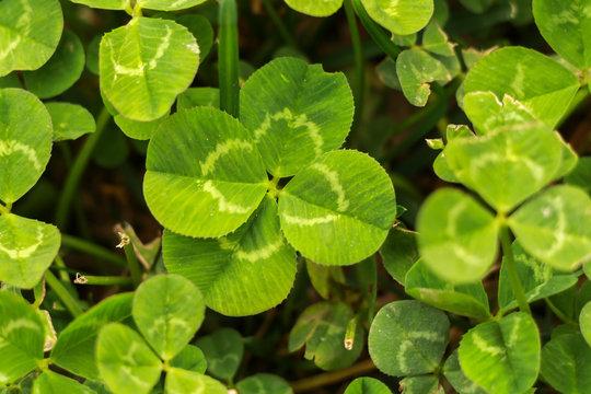 Four leaf clover on gras