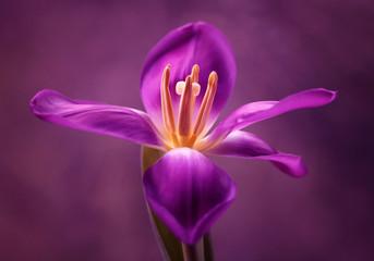 Obraz Tulipan - fototapety do salonu