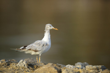 The slender-billed seagull in the morning light