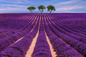 Photo sur Plexiglas Violet Lavender field Summer sunset landscape with tree