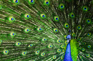 Beautiful colorful peacock with spread feathers