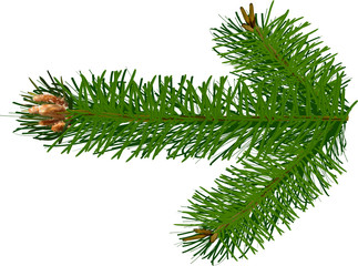 single green pine branch isolated on white