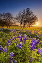 Texas wildflower -  bluebonnet or lupine filed at sunset
