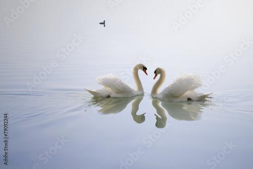 Fototapete Adorabili cigni ripresi in lago Trasimeno simbolo di eleganza e amore