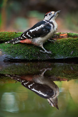 Woodpecker Near The Water