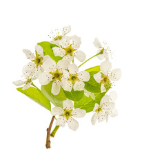 Blossoms of pear tree. Spring flowers isolated on white