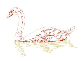 swan on surface hand sketch