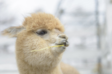 Very cute alpaca