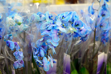 Blue orchid close-up in store