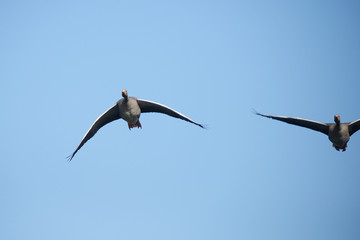 Greylag Goose, Anser anser