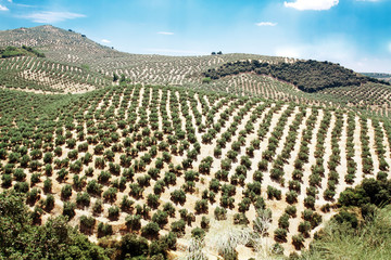 Young olive trees