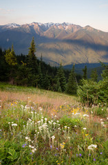 Early Morning Light Wildflower Meadow Olympic Mountains