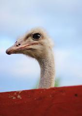 head of ostrich