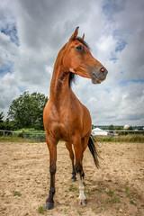 Magnificant chestnut brown stallion horse taken vertically