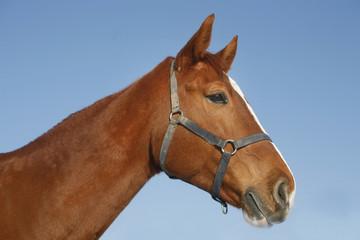 Portrait of nice purebred chestnut gold horse at corral door