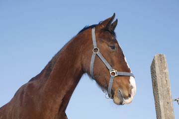 Head shot of a beautiful chestnut stallion at farm