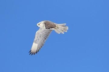 Fototapete - Rare (Gyrfalcon Falco rusticolus)