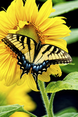 Eastern Tiger Swallowtail Butterfly feeds on a sunflower.