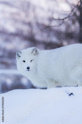 1e994488098 Arctic fox in snowy landscape