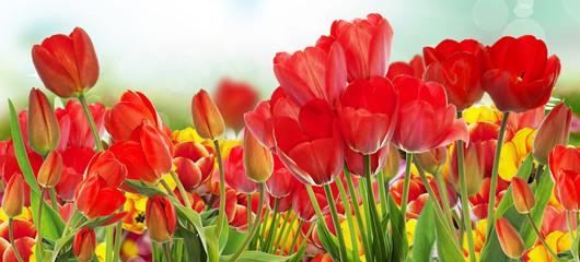 Beautiful garden fresh colorful tulips.Springtime.nature backgro