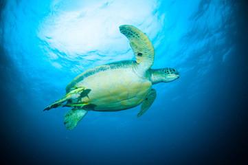 sea turtle swimming bunaken indonesia mydas cheloniao