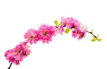 Spring cherry tree blossoms isolated