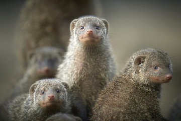 Banded mongoose family