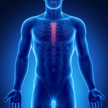 Male bone anatomy sternum
