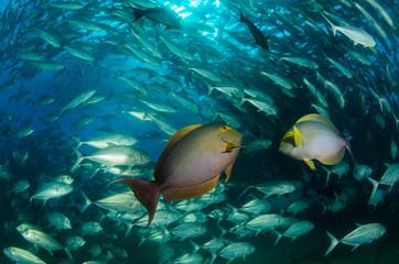 surgeonfish,sea of cortez