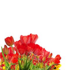 Beautiful garden fresh colorful tulips on white background