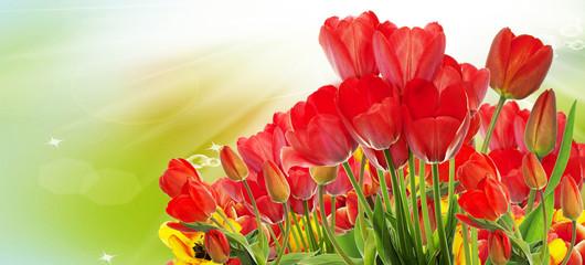 Beautiful garden fresh colorful tulips.Springtime.