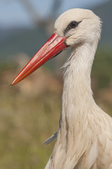 Portrait of White Stork ( Ciconia ciconia ) in their natural hab