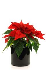 Star of Bethlehem (Euphorbia pulcherrima) on a white background
