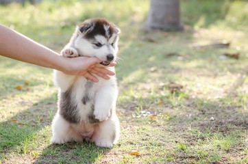 Little Siberian husky puppy biting the hand