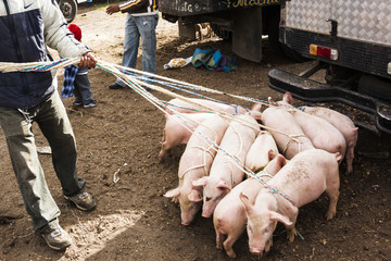 Piglets ready for sale in the Andean market