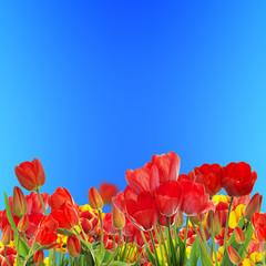 Beautiful garden fresh colorful tulips on blue sky