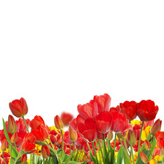 Beautiful garden fresh colorful tulips on white background