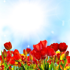 Beautiful garden fresh colorful tulips on blue sky