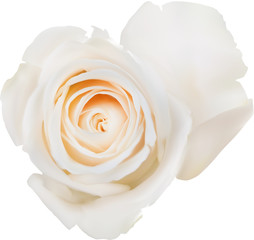 illustration with single isolated white rose bloom