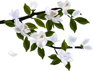 large blossoming branch of magnolia on white